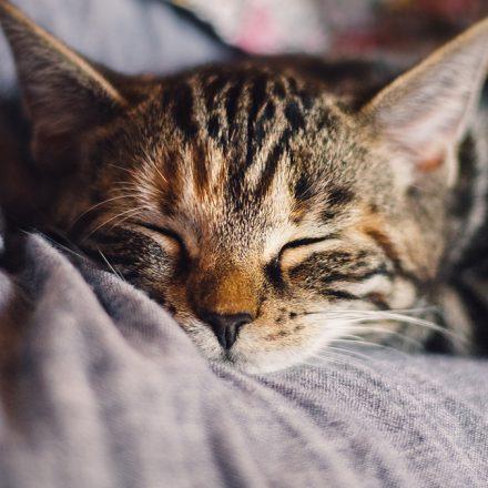 Descubre con algunas preguntas que tipo de gato tienes